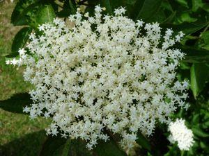 Elderflower Cookery Extravaganza