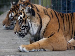 Tigers at Thrigby