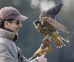 Falconry Displays & Hawk Walks