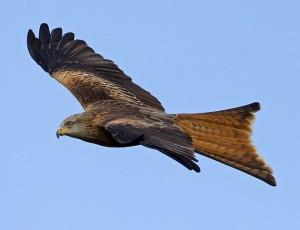 Gigrin Red Kite Feeding Centre